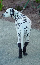 Dog Boots And Joint Supports For Dogs Who Drag Their Paws